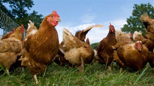 poules en liberté