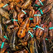 Le homard du Maine menacé par la pollution