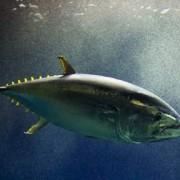 """La pêche illégale du thon dans la Pacifique inquiète, la situation de """" non retour """" est proche."""
