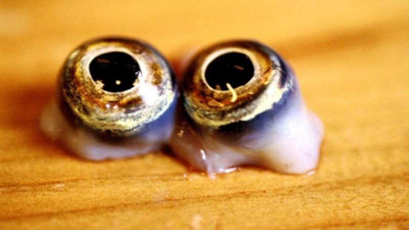 Oeuil de fugu