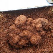 Une truffe de 1,5 kg trouvée en Australie