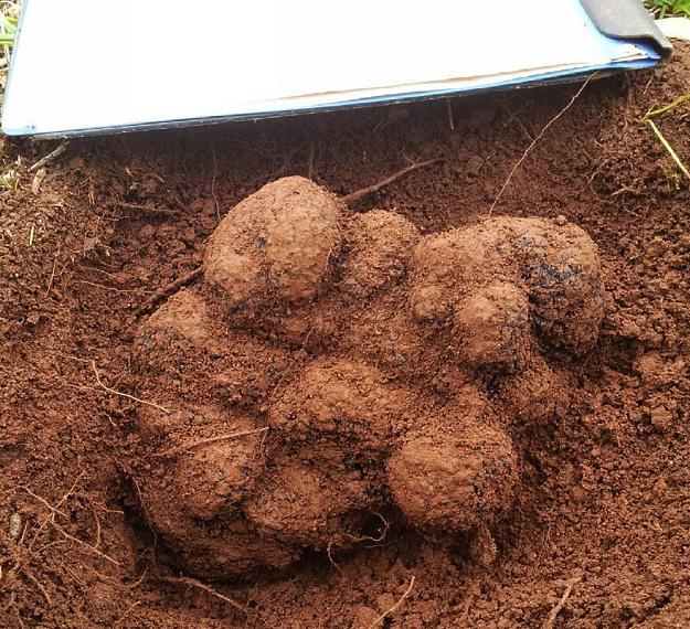 Truffes Australie