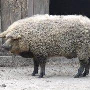 Le Cochon Mangalica implanté en Ardèche, un » Pata negra » version France