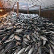 Déclaration de traçabilité Thon 2020, pour empêcher le thon pêché illégalement d'être mis sur le marché