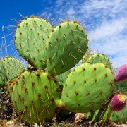 Le Figuier de Barbarie, un cactus, mais surtout une plante d'avenir précieuse pour l'alimentation