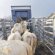 La viande bovine Française va revenir en Chine, mais n'est-il pas trop tard ? – La France produit des viandes maigres alors que la demande en Asie est pour des viandes grasses