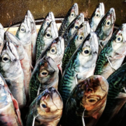 gachis poissons