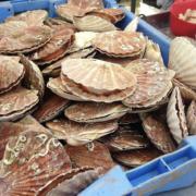 La pêche à la coquille Saint-Jacques française ouvre ce 1er octobre, très attendue par les chefs vous allez les retrouver sur les meilleures tables
