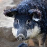 Une célèbre charcuterie lyonnaise – Sibilia- à la rescousse d'une race de porc quasi disparue, le Mangalitza