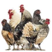 Défilé de poules au Coq Rico Paris chez Antoine Westermann