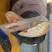 La coquille Saint-Jacques moins chère que l'an passé, pour maintenir le prix, il faut moins pêcher mais sur une période plus longue