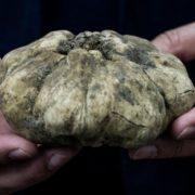 Une truffe blanche d'Alba vendue 85.000 euros, soit 100 euros le gramme