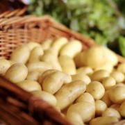 La guerre de la patate – Les belges viennent produire leurs pommes de terre en France