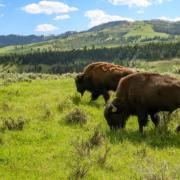 Megève – 19 Bisons en fuite de leur enclos abattus