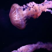 Méduses – nos côtes en rejettent des tonnes chaque année et si nous les consommions ? – ce n'est pas si simple, Attention Danger !