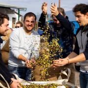4 chefs partent cueillir les olives dans le sud du Péloponnèse pour kalios
