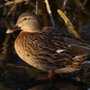 Les Landes en passe de perdre la totalité de ses canards – La grippe aviaire frappe fort dans le Sud-Ouest