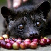 Le Kopi Luwak café le plus cher au monde est extrait des excréments de la civette asiatique!
