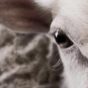 Guerre ouverte entre Vegan et filière viande – la mairie de Calais annule un festival Vegan