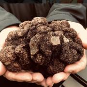 La truffe noire arrive sur les grandes tables … les grands chefs vont s'amuser, découvrez les premiers à travailler l'or noir
