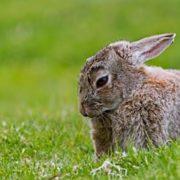 Les lapins de Garenne se font de plus en plus rares, un constat alarmant