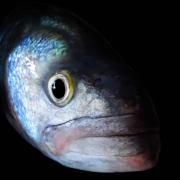 Ikejime ou l'art «de mourir vivant» pour le poisson au Japon – dans la douceur et en respectant l'animal